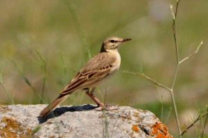 Anthus campetris - (fasa de camp)