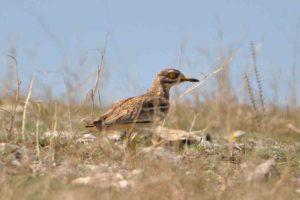 Burhinus oedicnemus - (pasărea ogorului)