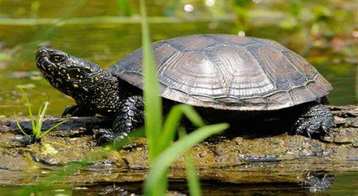 țestoasa de apă europeană - Emys_orbicularis