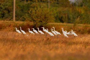 Grup de egrete mari (Egretta alba) în ROSPA0090