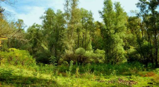 Habitat 92A0 -Zăvoaie cu Salix alba și Populus alba