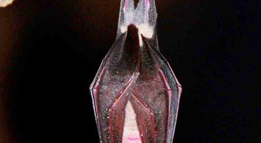 Liliacul mic cu potcoava - Rinolophus hiposideros