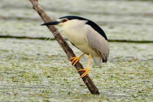 Nycticorax nycticorax - (starc de noapte)