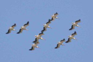 Pelecanus onocrotalus - pelican comun)