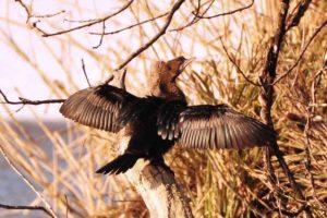 Phalacrocorax pygmeus - cormoran mic