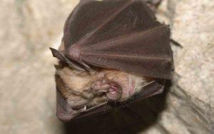Liliacul cu potcoava - Rhinolophus Mehelyi 3